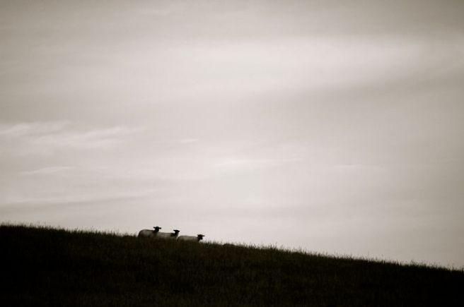 Three Sheep