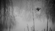 rwblackbird 002