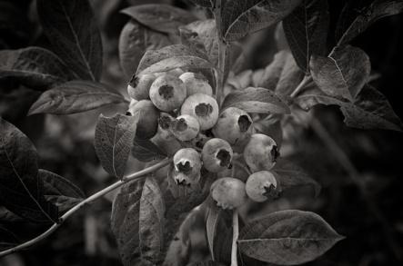 ripeningblueberries