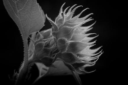 sunflowerjul31