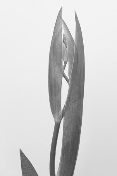 emergingblackberrylily-1