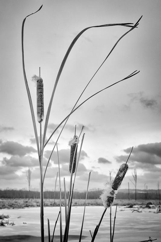 wintercattails-1-2