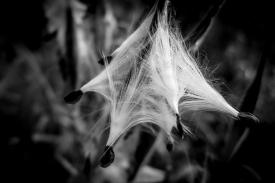 milkweedpod1Oct17