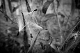 milkweedpod3Oct17