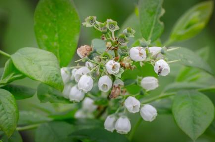 Future Blueberries
